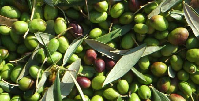 Olives - Kangaroo Valley - Tour Australia In Style - Australia Travel