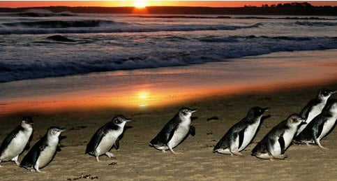Phillip Island - 2 hours drive from Melbourne - Tour Australia In Style - Australia Travel